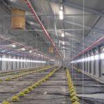 Farma piščancev (brojlerjev) osvetljena za LED svetili